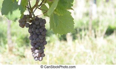 Grapevines in Obernai Alsace