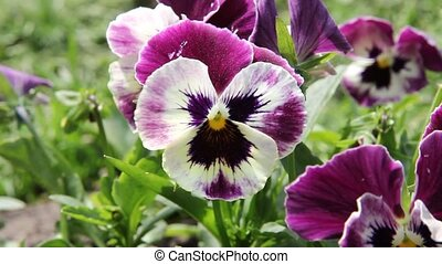 colorful pansy flower. Viola tricol