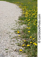 Along the gravel path bordered by dandelions - Following a...