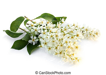Flowers of a bird cherry with leaves on a white background