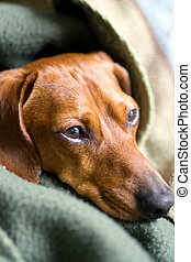 Dachshund all wrapped up - Head of a Miniature Dachshund...