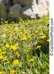 Weeds out of control - Out of control patch of Dandelions.
