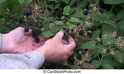 picking fresh blackberry berry from garden bush