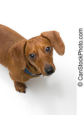Miniature Dachshund looking up at camera on white - A...