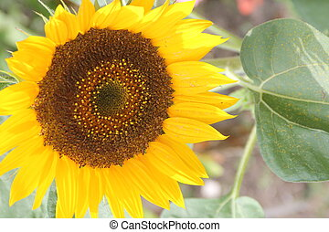 Sunflower (Helianthus annuus) - Sunflower growing in a small...