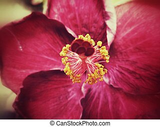 Hibiscus flowers. - Hibiscus flowers in the nature
