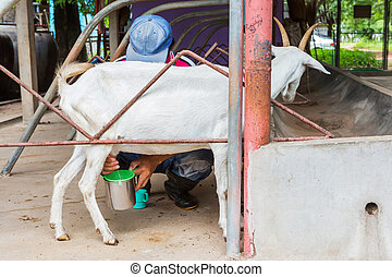 Goat milking - Close up goat milking in farm from central of...