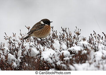 Stonechat, Saxicola torquata, male, Scotland, winter...