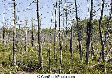 Forest gone bad with dead trees