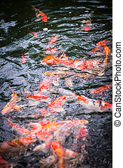 Koi carp fishes in a pond top view close up