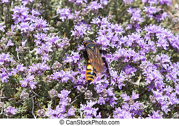 Bee on thyme flowers, Crete