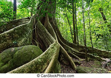 Large fig tree