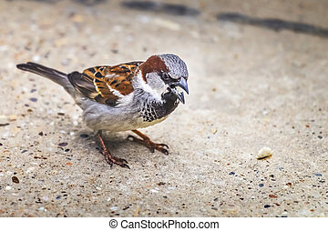 Sparrow Pecking Bread Crumbs - Photograph of a Sparrow...