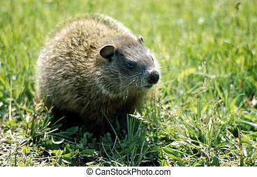 Groundhog H-2297 - The groundhog Marmota monax, also known...