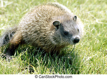 Groundhod G-2290 - The groundhog (Marmota monax), also known...