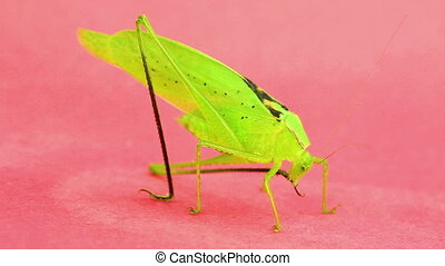 Large green katydid grooming leg - Close up of large green...