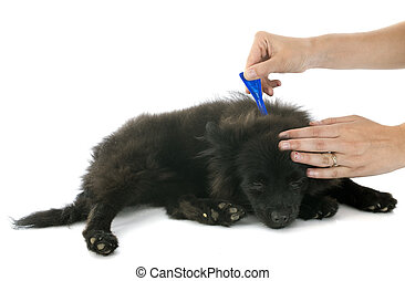 tick and flea prevention on a little spitz in studio