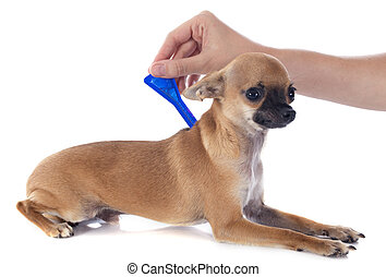 tick and flea prevention on a little chihuahua in studio