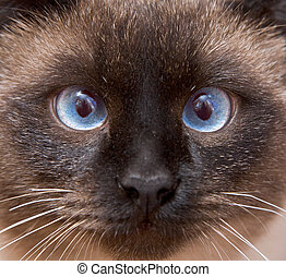 Muzzle of the Siamese cat with blue eyes close-up