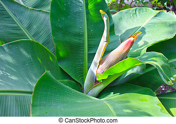 Banana blossom and bunch on tree in the garden