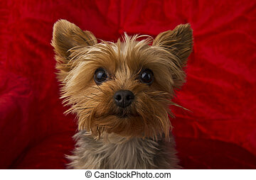 Curious Yorkie - Image of a curious Yorkie on a red...