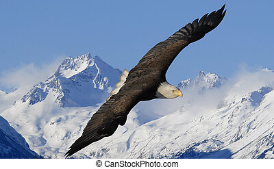 Bald Eagle winter mountains - American Bald Eagle in flight...