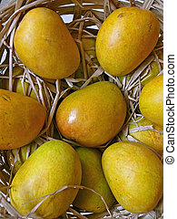 Alphonso mangoes, Mangifera indica L, Anacardiaceae in a basket for packing