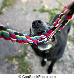 Black dog with rope - Close up of nose and teeth of black...