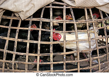Chickens in coop - Chickens trapped in dark bamboo coop and...