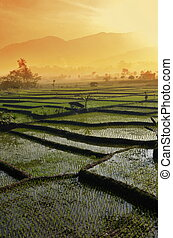 Agriculture rice field Landscape