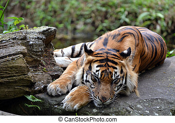 Sleeping Tiger - a big sleeping giant tiger