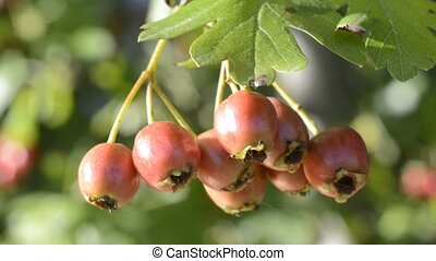 hawthorn fruits, food and medicine