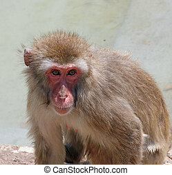 deep and meaningful look of a macaque monkey - very deep and...