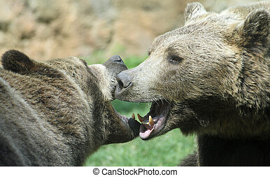 two ferocious bears struggle with powerful shots and open...