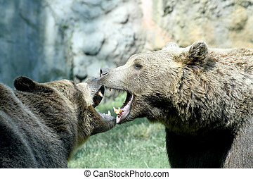 two ferocious bears struggle with mighty bites and blows the mouth open and the teeth sharp