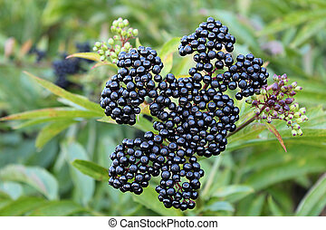 ripe elderberry - some ripe elderberry on branch against the...