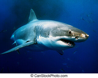 grande, blanco, tiburón