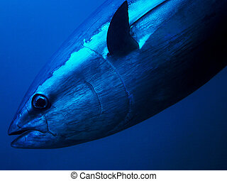 Bluefin Tuna - Bluefin Tuna Closeup Underwater Photo