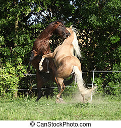 Two quarter horse stallions fighting with each other on...