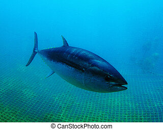 Bluefin Tuna - Bluefin Tuna Closeup Underwater Photo...