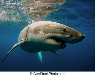 Great White Shark - Great White Shark Closeup...