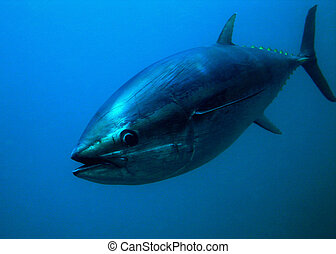 Bluefin Tuna Closeup Underwater Photo