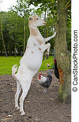 livestock goat and chickens on a dutch farm in the...