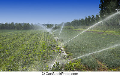 irrigation - watering crops at the field with sprinkler...