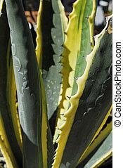 Agave - agave