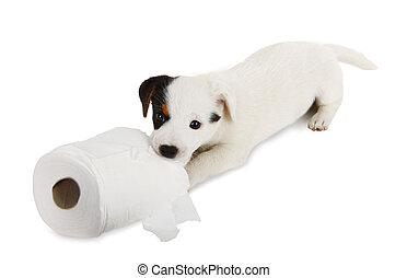 Jack Russell puppy with toilet paper