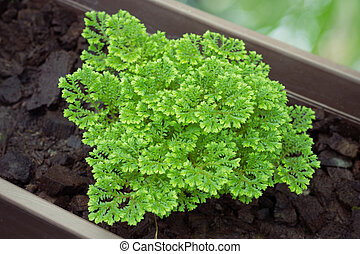 Adiantum Species (ADIANTACEAE)