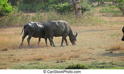 Bulls grazing in wild. Sri Lanka - 1920x1080 video - Bulls...