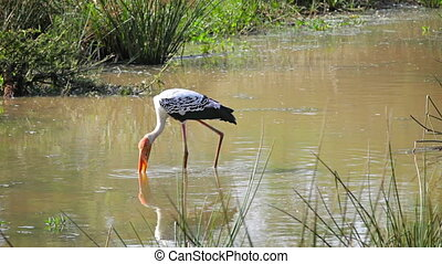 Wading bird Painted Stork. Sri Lank - 1920x1080 video -...