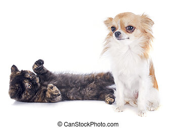 Exotic Shorthair kitten and chihuahua